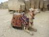 camel_giza_pyramids