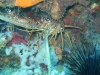 red_sea_lobster
