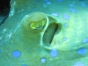 blue_spotted_ray_sand_close_up