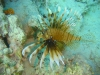 brown_lion_fish_egypt_red_sea
