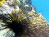 dangerous_sea_urchin