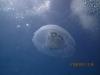 jellyfish_hurghada_egypt_red_sea