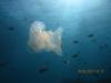 jellyfish_red_sea_hurghada_egypt