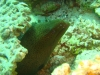 morae_eel_red_sea_egypt