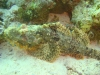 stone_fish_red_sea_egypt