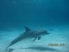bottlenosed_dolphin_egypt_hurghada_red_sea