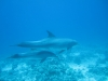 mother_and_baby_dolphin_red_sea