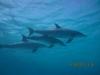 skool_of_bottlenosed_dolphins_egypt_hurghada_red_sea