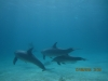 skool_of_dolphins_red_sea_egypt_hurghada