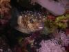 puffer_fish_hurghada_egypt