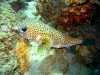 puffer_fish_red_sea_egypt