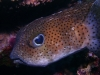 puffer_fish_red_sea_little_brother_island