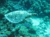 sea_turtle_red_sea