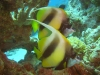 angel_fish_red_sea_egypt