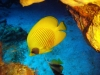 butterfly_fish_red_sea