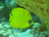 butterfly_fish_red_sea_egypt