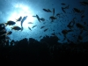 fish_sillouette_red_sea