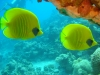 pair_of_butterfly_fish_red_sea