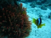 anemone_and_red_sea_clown_fish