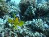 clown_fish_egypt_hurghada