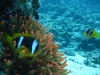 clown_fish_nemo_in_egypt