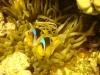 clown_fish_red_sea_egypt