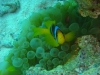 clownfish_face_on_red_sea