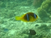 clownfish_nemo_egypt_red_sea