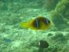 clownfish_nemo_egypt_red_sea