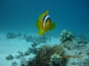 nemo_single_clownfish_egypt