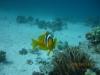 nemo_single_clownfish_hurghada_egypt