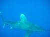 oceanic_white_tip_shark_red_sea_marsa_alam