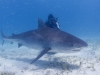 tiger_shark_marsa_alam_2006