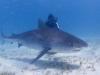 tiger_shark_marsa_alam_2006