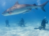 tiger_shark_marsa_alam_egypt