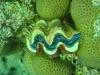 clam_red_sea_hurghada