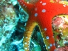 star_fish_red_sea