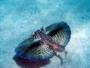 flying_gurnard